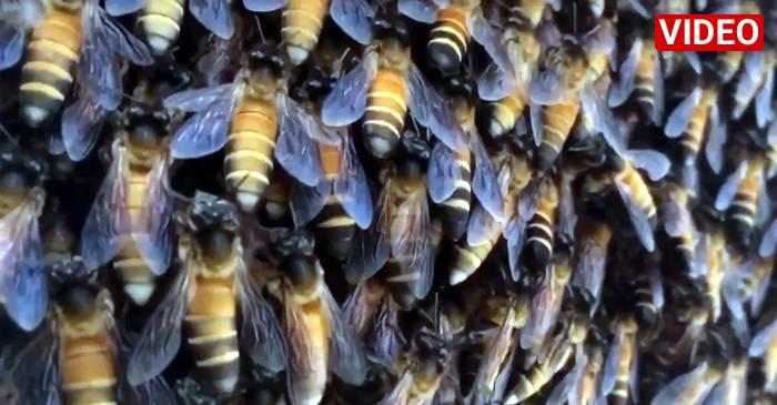 """Albinele uriașe fac """"valuri"""" ca pe stadion ca să respingă invadatorii FEATURED_compressed"""