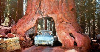 Bulevardul uriașilor: Arborii Sequoia prin care poți trece cu mașina