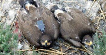 Un vultur a falimentat un studiu științific trimițând SMS-uri de sute de dolari