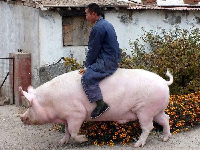 curiozități despre porci