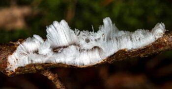 """""""Părul de gheață"""", fenomenul pe care puțini oameni îl văd vreodată"""