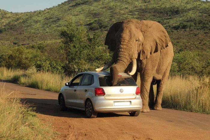 Cele mai periculoase animale - Elefanti