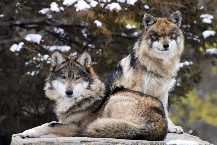 Cele mai periculoase animale - Lupi