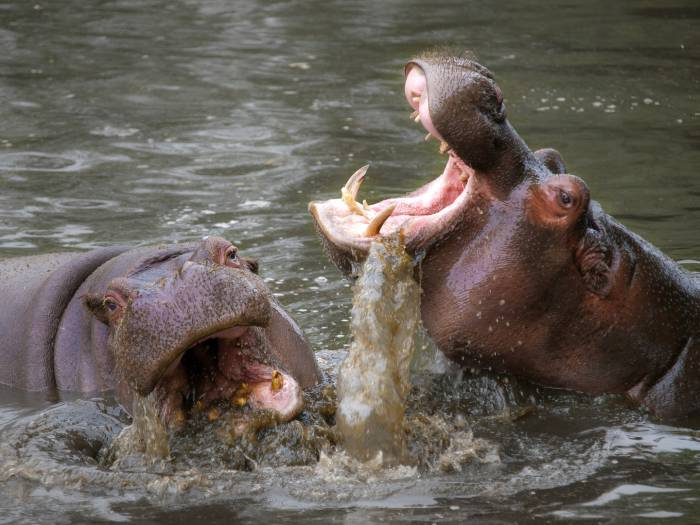 Hipopotami