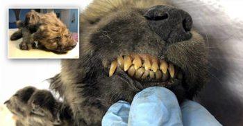Un misterios pui fosilizat de 18.000 de ani. Nu se știe ce e: câine sau lup?