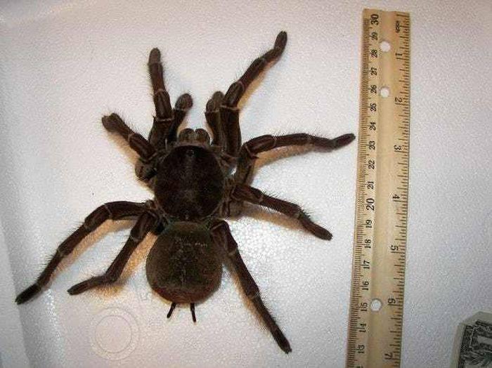 cel mai mare păianjen din lume