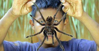 10 curiozități despre păianjenul Goliat, un uriaș surprinzător de blând