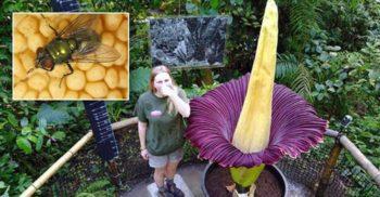 """Cum se reproduce floarea-cadavru, """"falusul gigantic fără formă"""""""