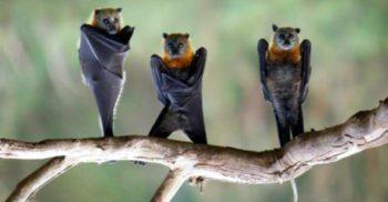 De ce dorm liliecii cu capul în jos