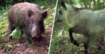 La aproape un deceniu de la dezastrul nuclear, animalele prosperă la Fukushima