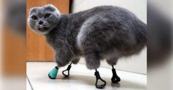 """Dimka, """"pisica degerată"""" dotată cu patru proteze din titan"""