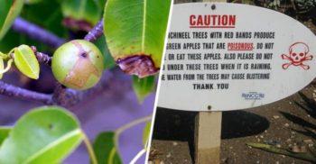 Mărul morții este un copac atât de toxic, încât nu poți sta sub el când plouă