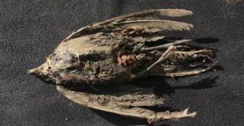 O pasăre de 46.000 de ani, cu penele și ghearele intacte, a fost descoperită în Siberia