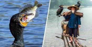 Pescuitul cu cormorani, o uimitoare tradiție asiatică de 1.300 de ani
