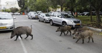 Protejați prin lege, porcii mistreți au invadat străzile orașului Haifa