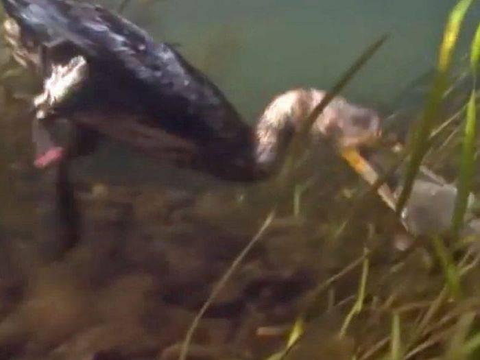 pescuitul cu cormorani