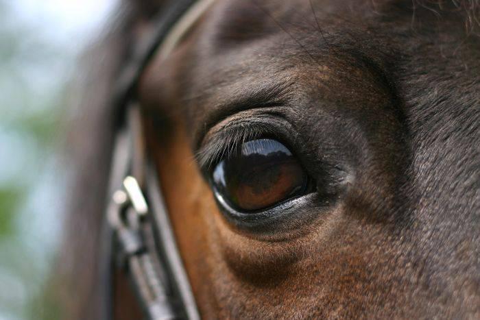 Curiozitati despre cai - ochi