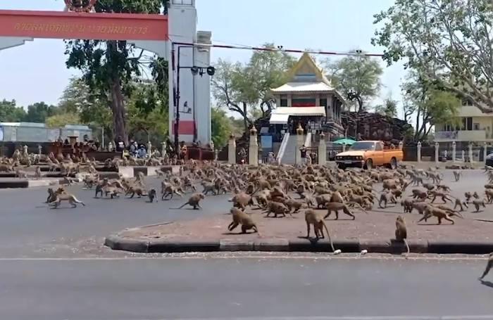 Macaci Thailanda