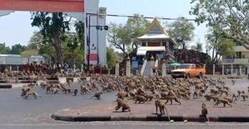 Macacii se luptă pentru hrană pe străzile pustii din Thailanda