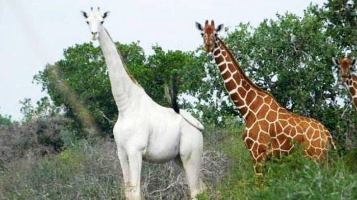 girafe albe
