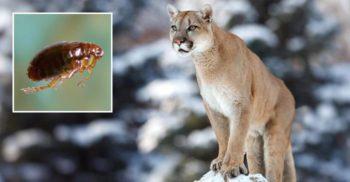 Ciuma, descoperită la pumele din parcul Yellowstone