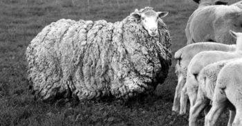 După 7 ani de pribegie prin sălbăticie, o oaie a revenit la fermă arătând ca un balot de lână