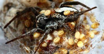 La meniu, mama: Femela păianjen care se lasă devorată de puii ei