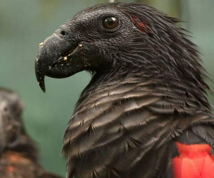 Papagalul Dracula 02