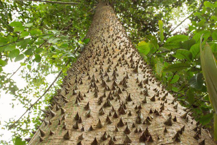 Arborele dinamita