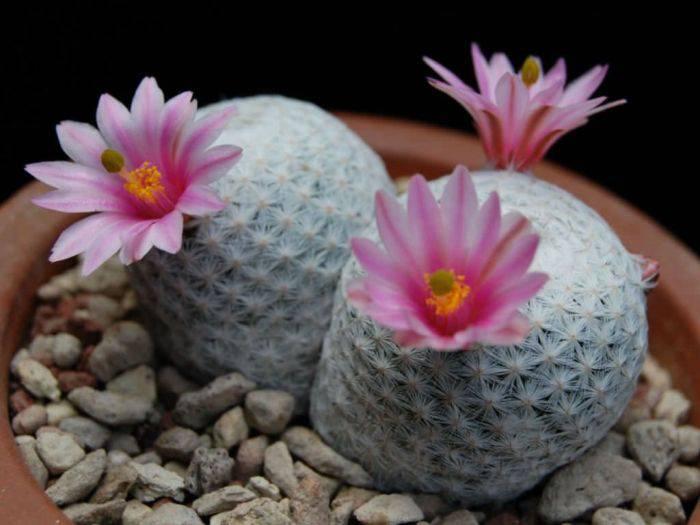 Cactus minge de golf 1