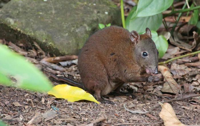 Curiozitati despre Australia - cangur