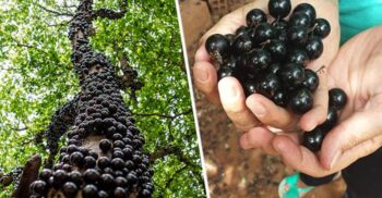 Jabuticaba, pomul care face fructe direct pe trunchi