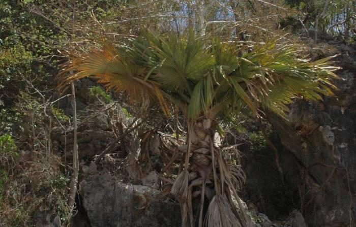 Palmier sinucigas