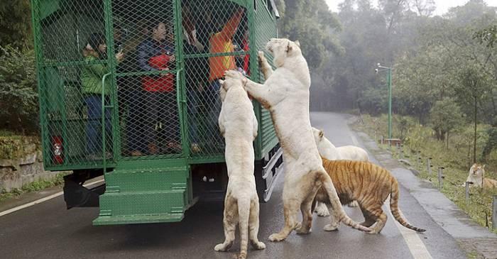 Parcul zoo unde oamenii sunt închiși în cuști și animalele umblă libere