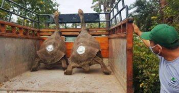 """Țestoasa-gigant care și-a salvat specia de la dispariție a ieșit la """"pensie"""""""