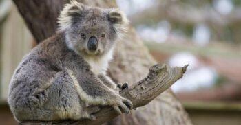 4 curiozități despre koala, animalul cu creierul mult mai mic decât craniul