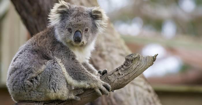 4 lucruri surprinzătoare care îți vor schimba părerea despre urșii koala