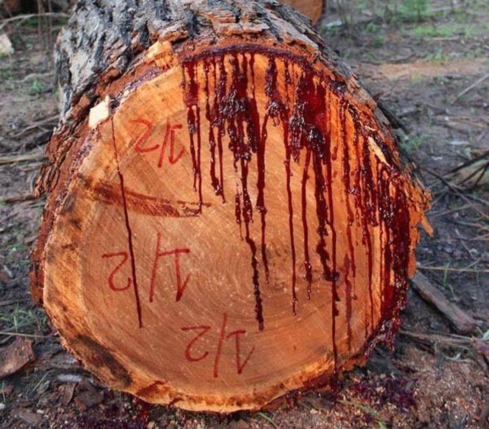 Arborele care sangereaza