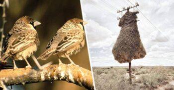 """""""Castele"""" suspendate: Cuiburile gigantice ale păsării-țesător"""