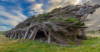 """""""Coafura"""" plantelor: Copacii modelați de vânt din Noua Zeelandă"""