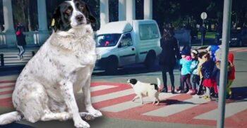 Kupata, câinele maidanez care ajută copiii să traverseze strada
