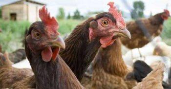 """Locuitorii unui cartier din Auckland, """"terorizați"""" de un cârd de găini sălbatice"""