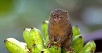 Marmoseta pigmeu, maimuța de 100 de grame care se hrănește cu sevă
