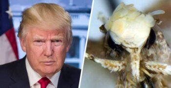 Neopalpa donaldtrumpi, molia botezată după Donald Trump