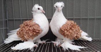 Porumbeii cu pene ondulate, vedetele concursurilor de frumusețe