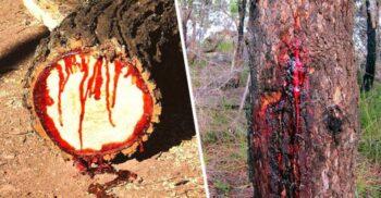 """Pterocarpus angolensis, arborele care """"sângerează"""" când este tăiat"""