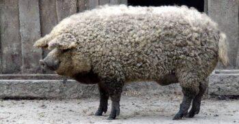 Uriașul de grăsime: Mangalița, porcul cu lână cârlionțată