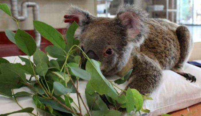 Curiozitati despre koala - Ursi koala 01
