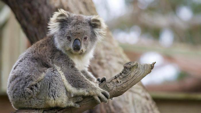 Curiozitati despre koala - Ursi koala 02