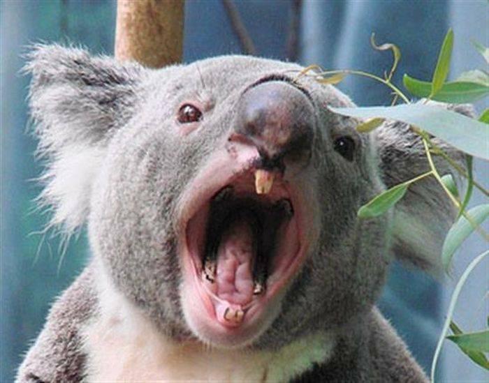 Ursi koala 03